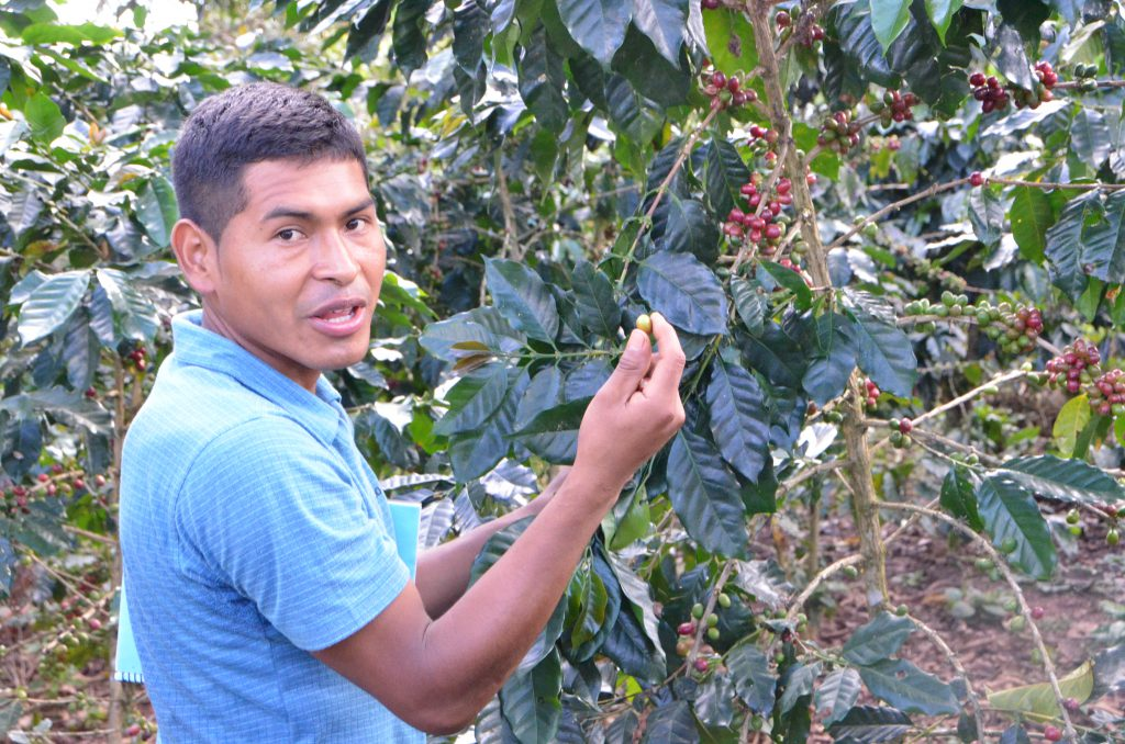 An adolescent shows a coffee-fruit on a plant.