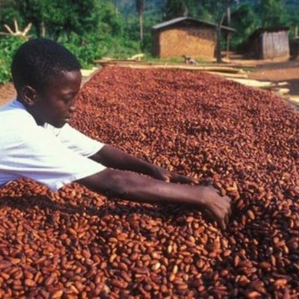 A boy uses both hands to rummage through a large pile of cacao beans.